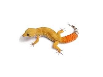Geco leopardino coda di carota