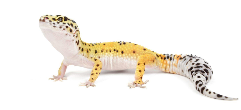 Il geco leopardino