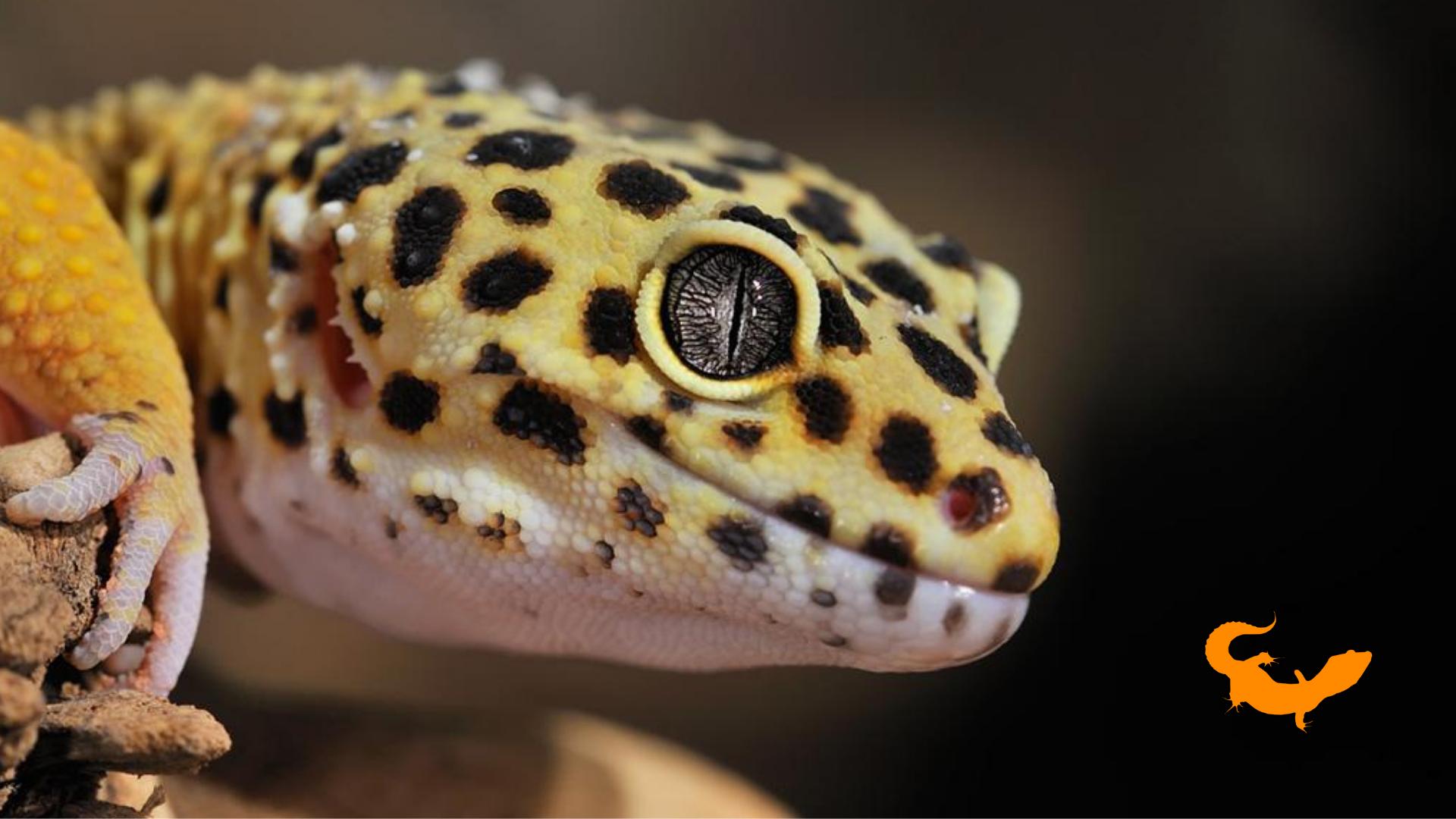 Le categorie principali per raggruppare i morph del geco leopardino