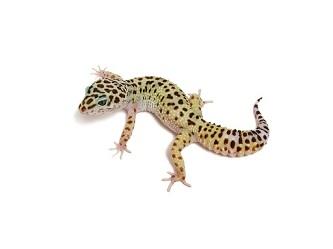 Geco leopardino high yellow