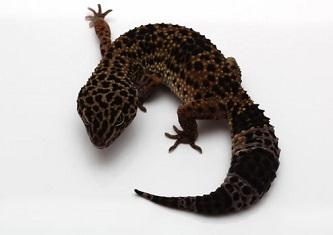 Geco leopardino iper melanistico
