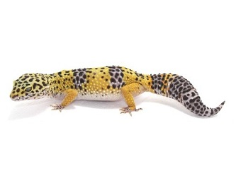 Geco leopardino normale