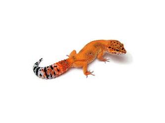Geco leopardino mandarino