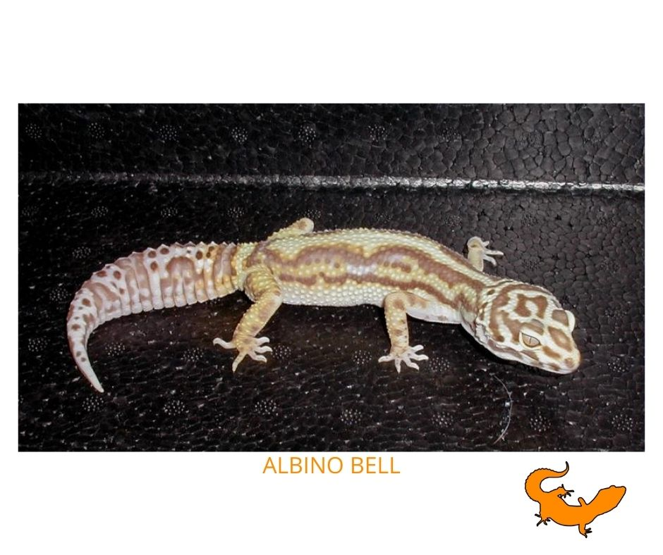 Geco leopardino albino bell