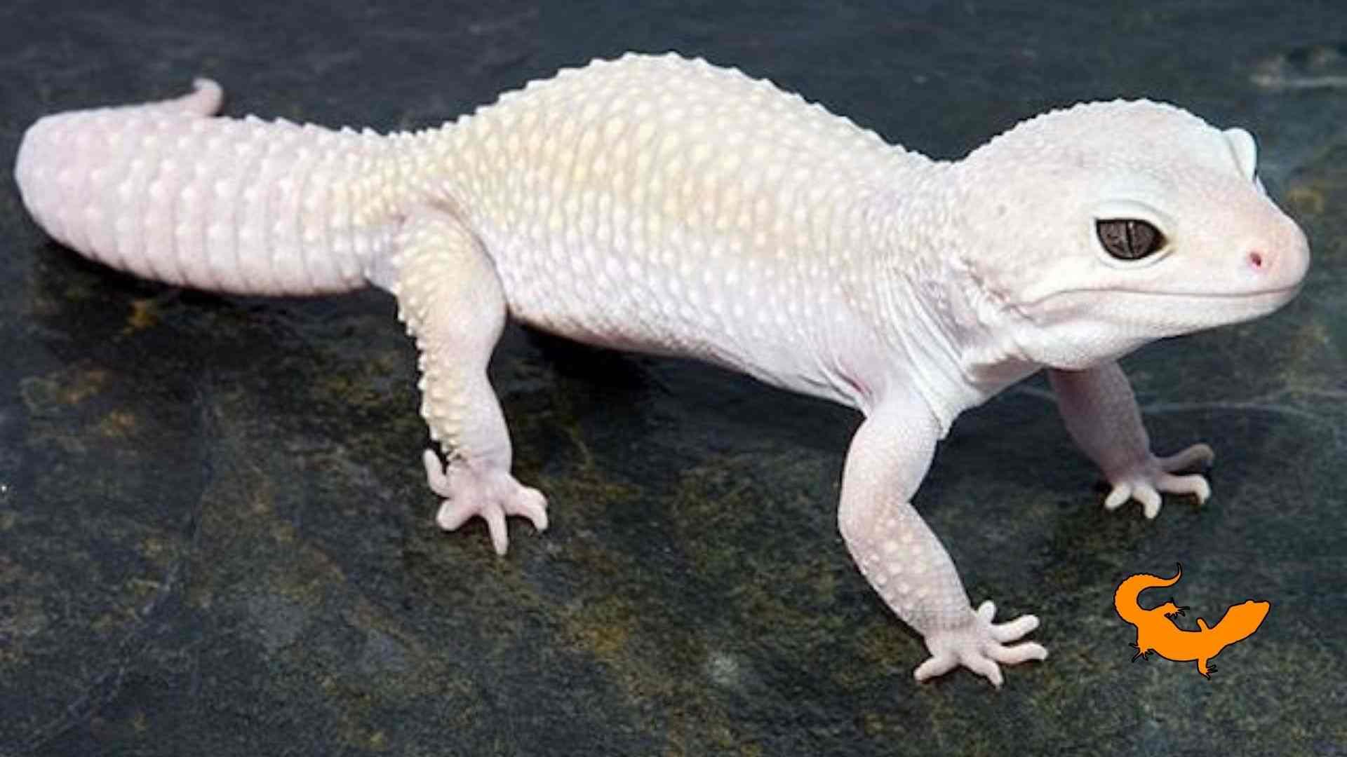 Geco leopardino albino
