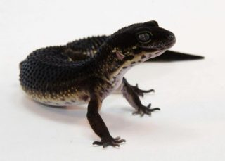 Black night leopard gecko
