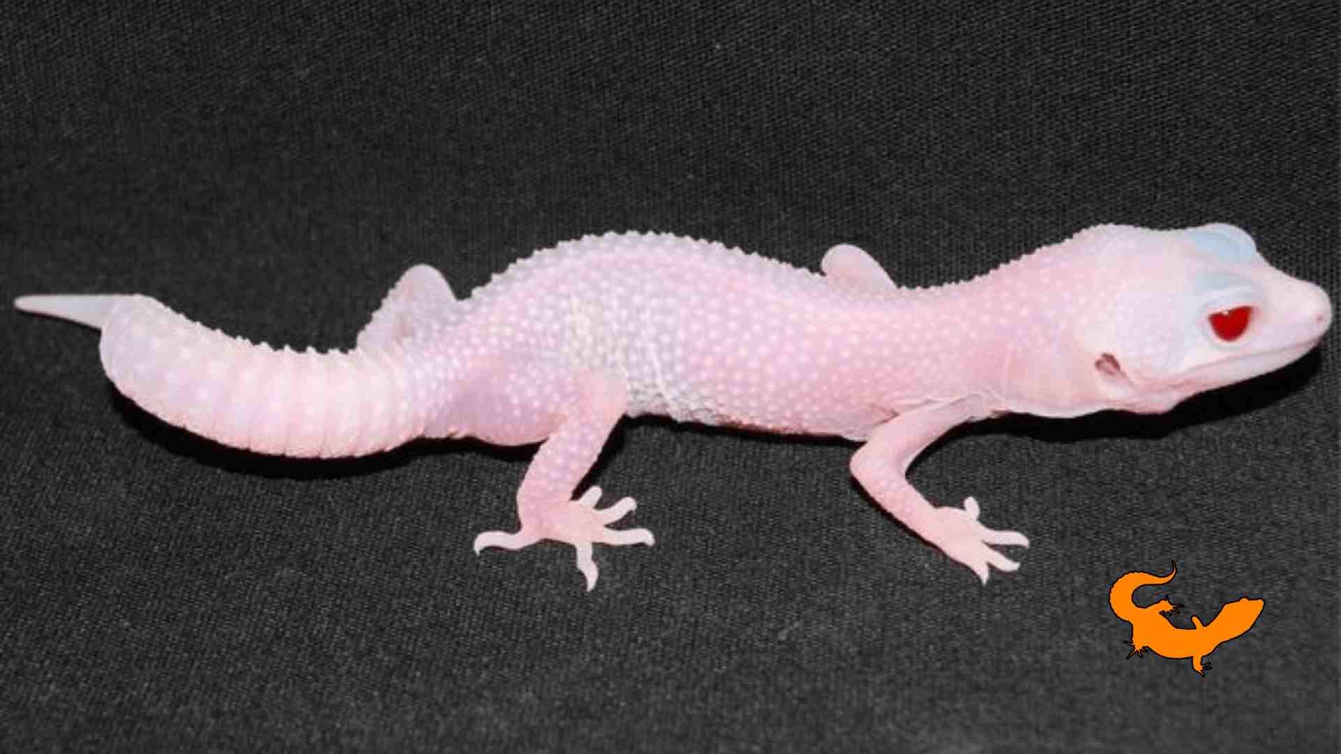 Geco leopardino rosa: esiste davvero?