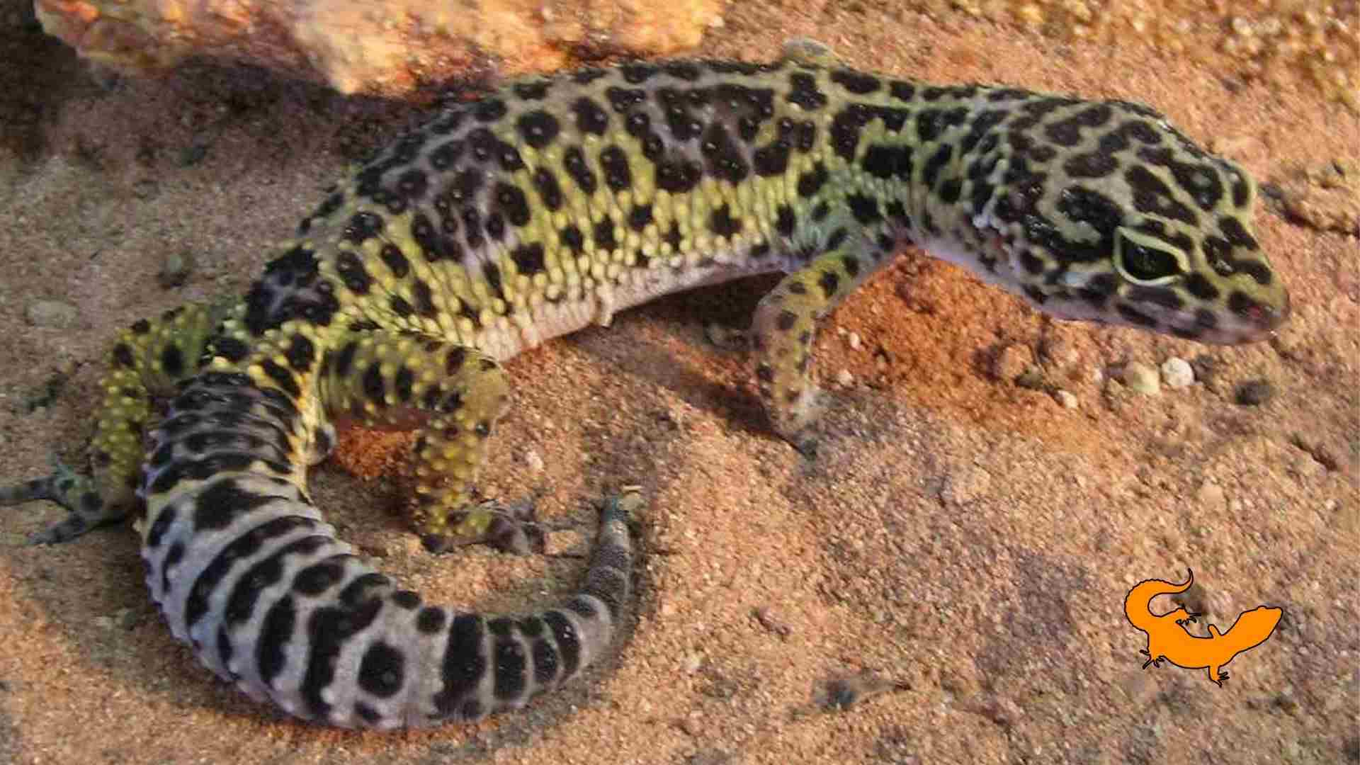 Leggende sul geco leopardino
