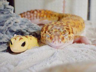 Geco leopardino sorridente