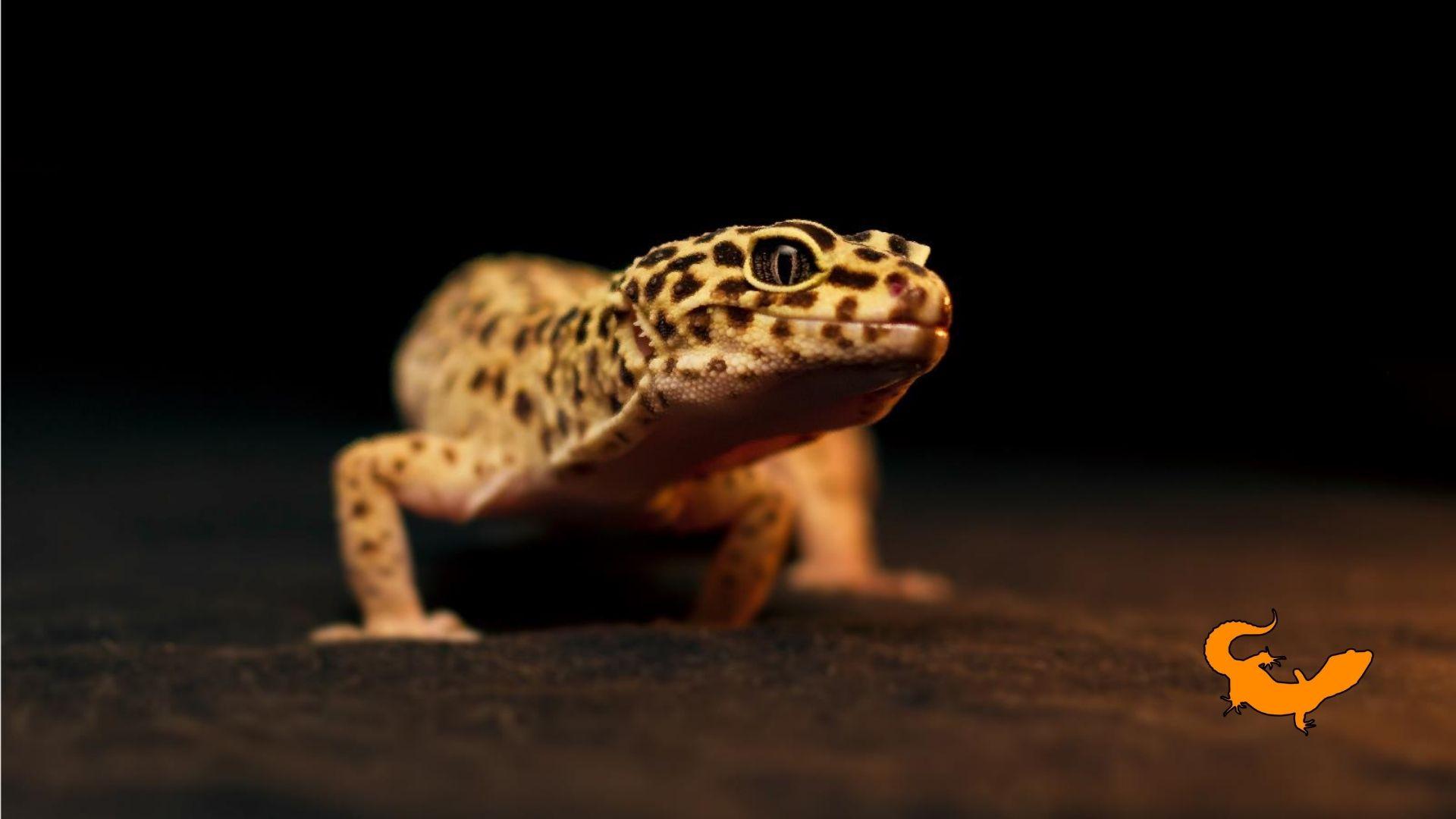 Geco leopardino costipato