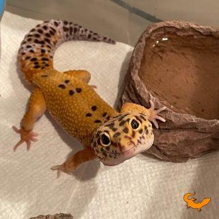 Milo geco leopardino