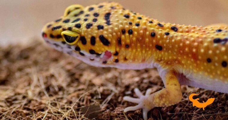 Geco lepardino adulto o baby, quale scegliere?
